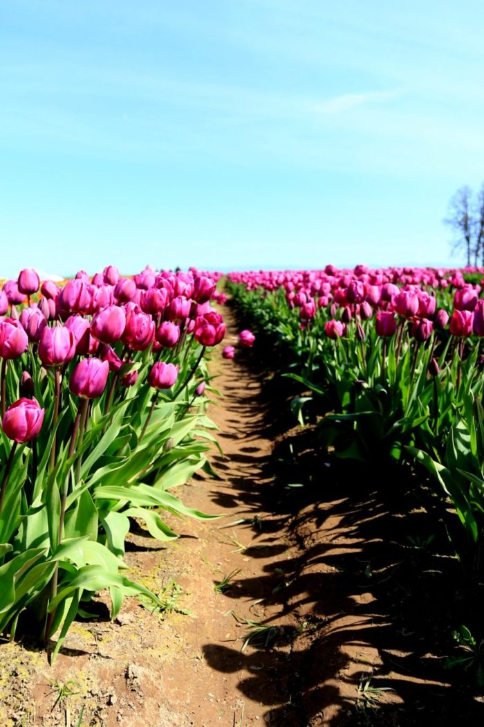 Catch Up: Woodburn Tulip Festival